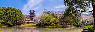 鼋头渚的浪漫樱花谷全景接片图片