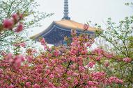 武汉东湖晚樱图片