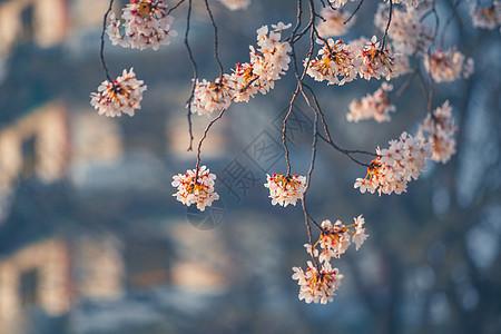 古建与樱花图片