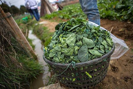 田间地头收获的青菜图片