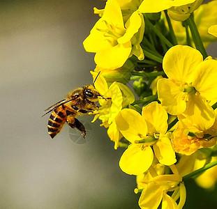 蜜蜂采蜜图片