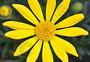 小黄菊图片