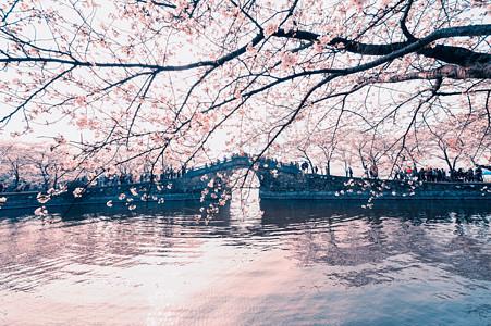 无锡 鼋头渚樱花图片