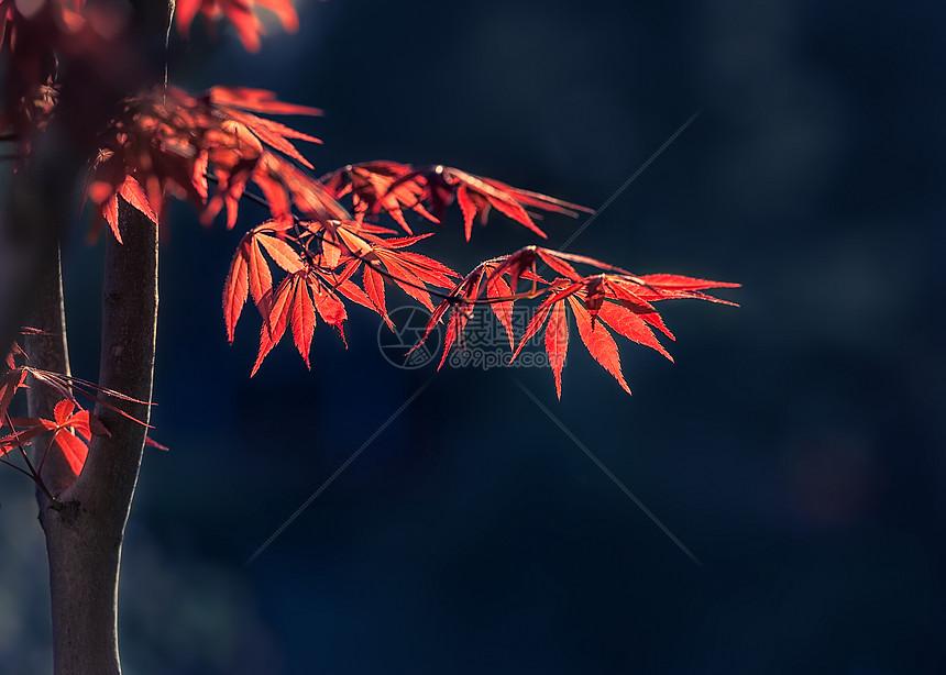 阳光下的白色枫叶图片