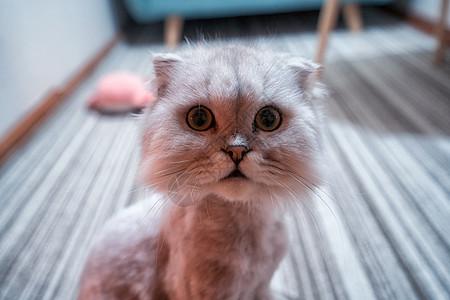 咖啡厅里呆萌的小猫图片