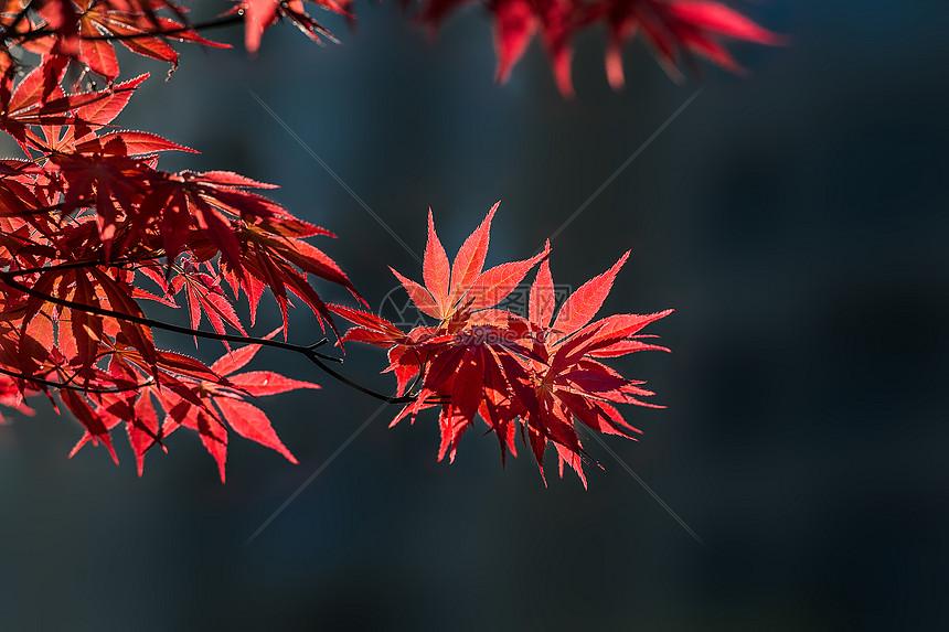 似火的红色枫叶图片