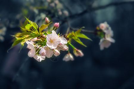 浪漫的粉色樱花图片