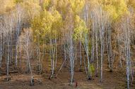 新疆禾木金秋白桦林图片