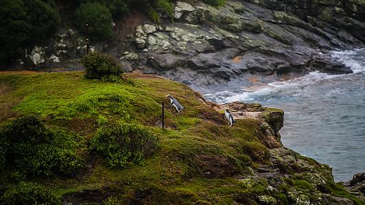 新西兰小企鹅图片