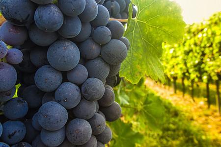 法国波尔多葡萄图片