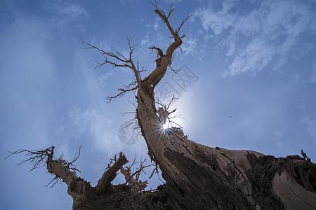 新疆塔克拉玛干沙漠胡杨图片