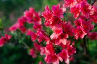 盛开的杜鹃花图片