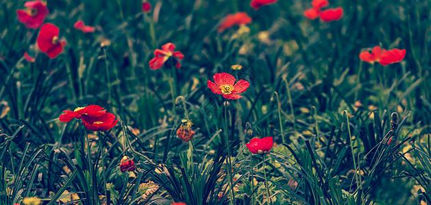 春日里的虞美人花草图片