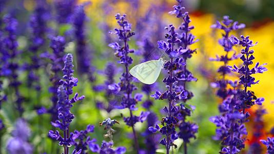 薰衣草花丛中的白色蝴蝶图片