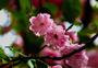 路边的樱花图片