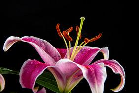 黑色背景中的百合花图片