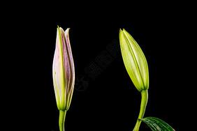 含苞待放的百合花图片