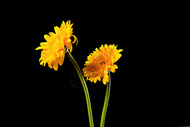 黑色背景中的菊花图片