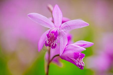 白及紫色小花图片