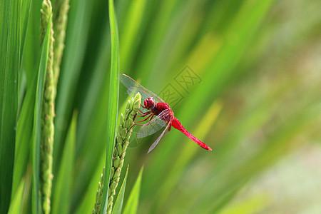 水稻和蜻蜓图片