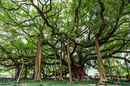 独木成林的大榕树图片