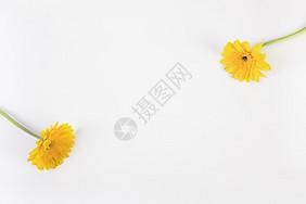 黄色菊花背景图片