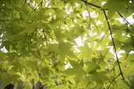 夏天逆光下的叶子图片