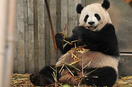 成都大熊猫繁殖基地图片