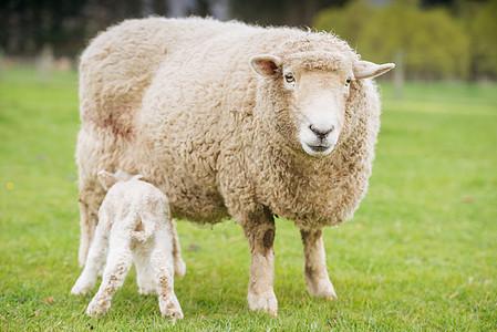 新西兰绵羊图片