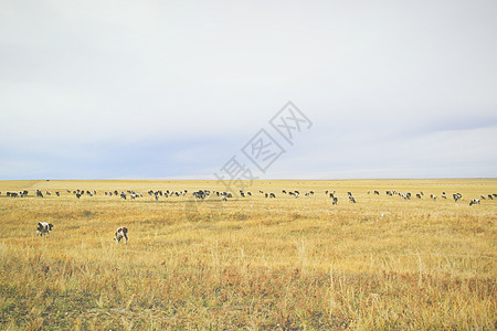 内蒙古呼伦贝尔草原上的奶牛图片