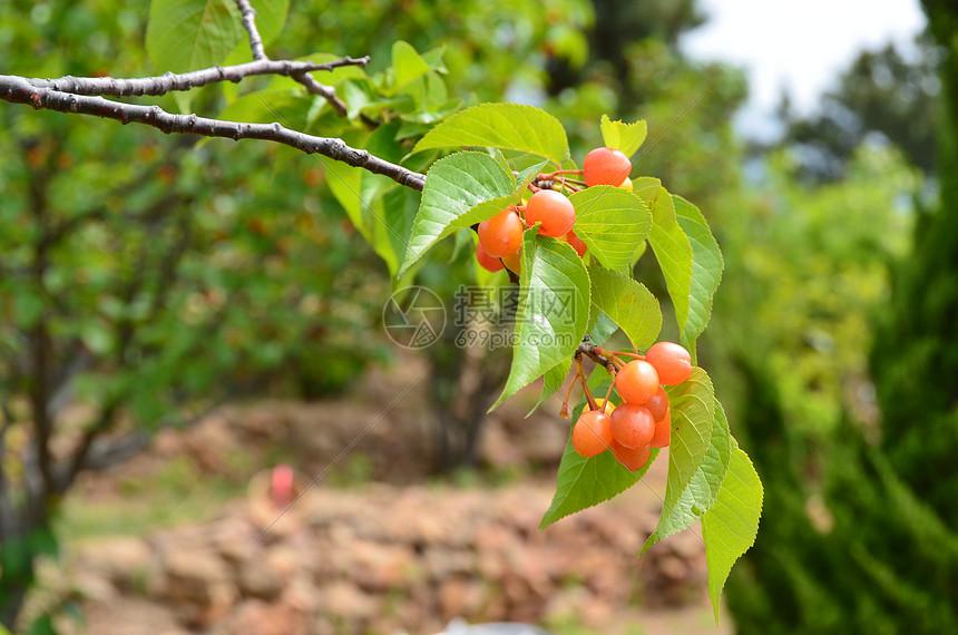 小河东摘樱桃图片