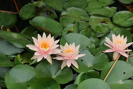 粉色莲花图片
