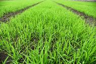 绿油油的秧苗图片