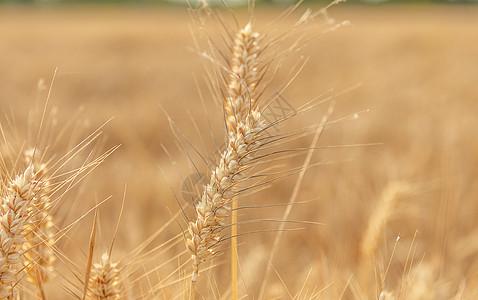 芒种麦穗图片