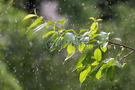 春雨下的绿叶图片
