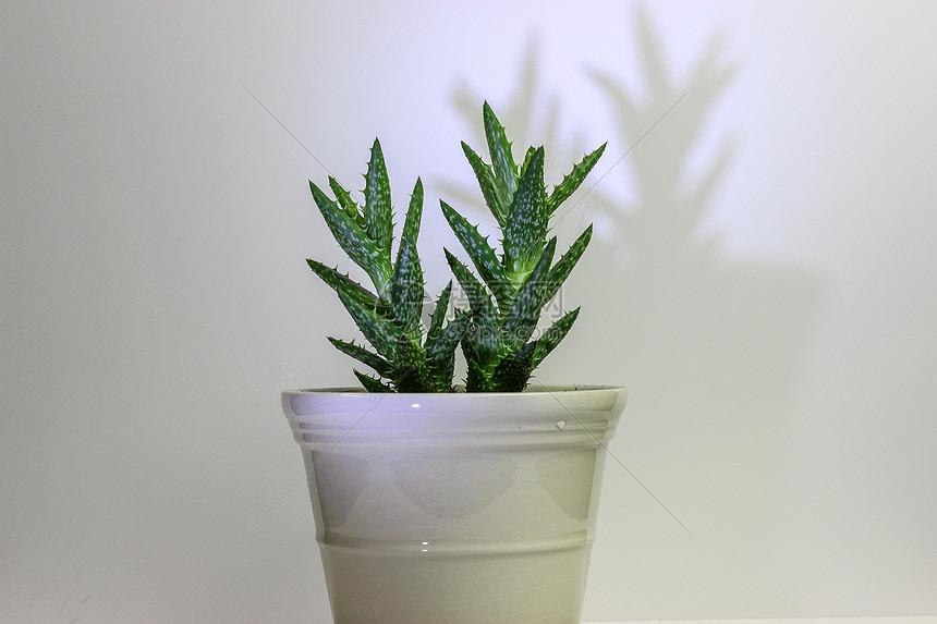 盆栽芦荟图片