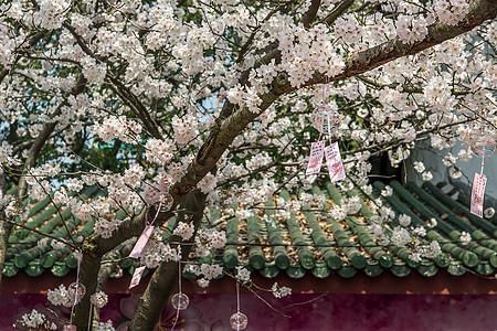 樱花树下的祈福图片