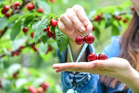 挂在树枝上的汶川大樱桃图片