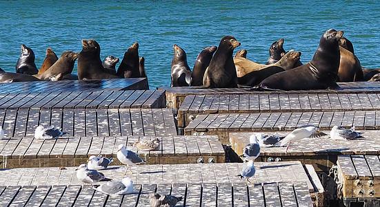 旧金山渔人码头海狮图片