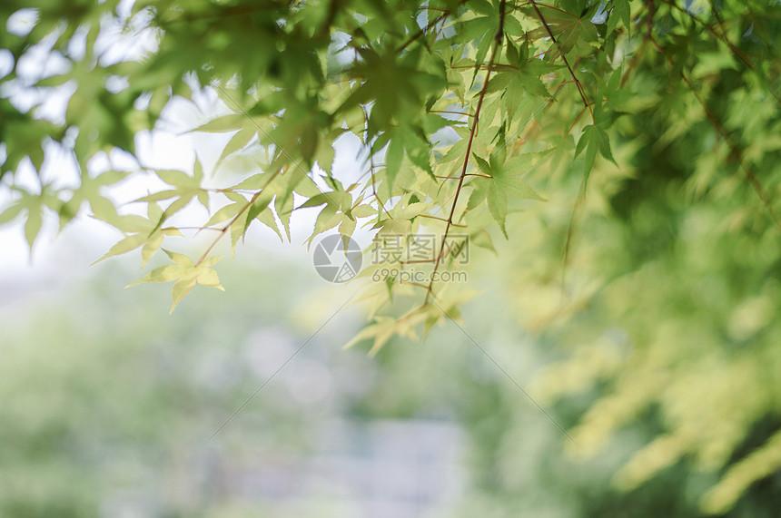 夏日清新的树叶图片