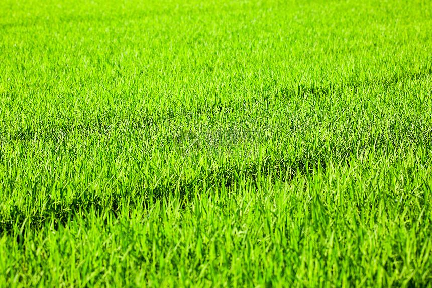 绿油油秧苗图片