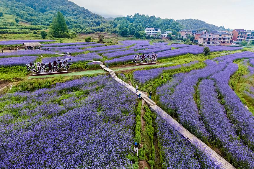紫色的花海图片
