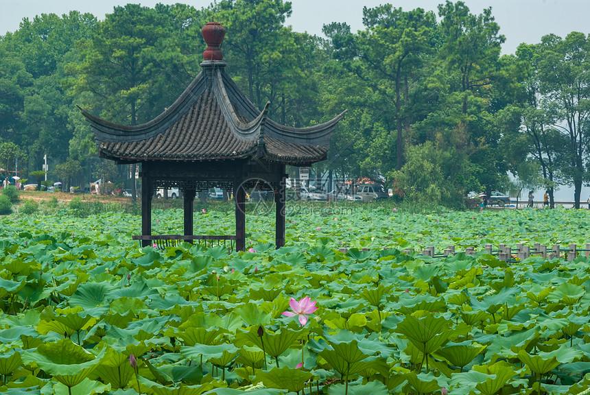 夏季武汉东湖磨山荷花园图片
