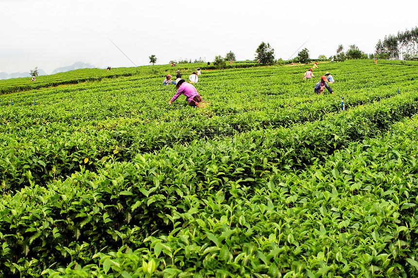 武夷山采茶季节采茶工与挑工图片
