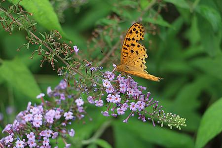 花丛蝴蝶图片