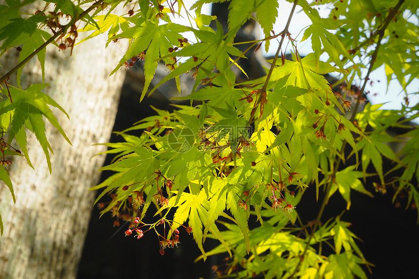 狮子林园林一角:阳光下的枫树图片