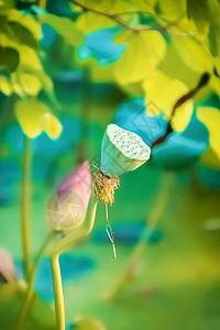 荷花莲蓬背景图片