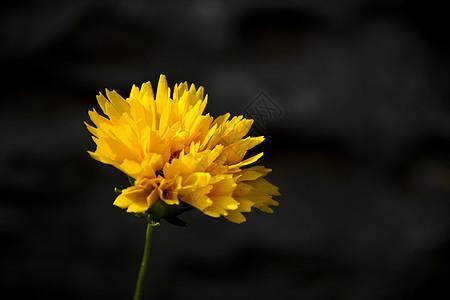 一朵夏菊图片