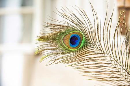 孔雀毛图片