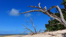 加勒比海海滩枯树图片